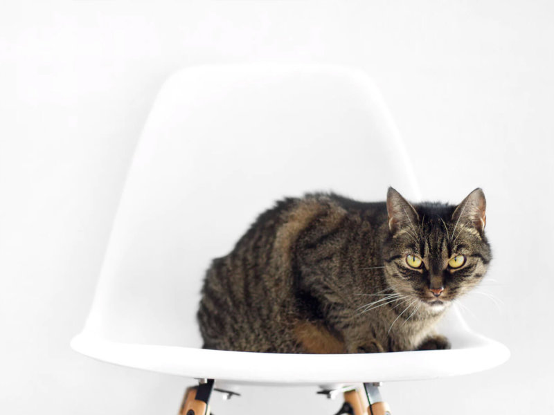 Tabby Cat on a Chair
